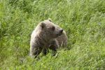 Thumbnail Grizzly Bear (Ursus arctos), feeding on flowers, Haines Pass, Yukon Territory, Canada