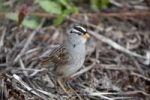 Thumbnail White-crowned Sparrow (Zonotrichia leucophrys), Yukon Territory, Canada