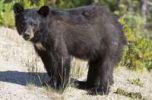 Thumbnail Black Bear (Ursus americanus), young, cub, with fresh scat, Yukon Territory, Canada