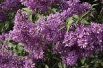 Thumbnail Lilac (Syringa)