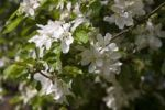 Thumbnail European wild apple (Malus sylvestris), tree in bloom
