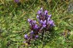 Thumbnail Chiltern gentian (Gentianella germanica), Allgaeu region, Bavaria, Germany, Europe
