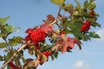 Thumbnail Water elder, European cranberrybush (Viburnum opulus), bearing fruit, Allgaeu region, Bavaria, Germany, Europe