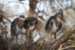 Thumbnail Grey Heron (Ardea cinerea), chicks on nest, Camargue, France, Europe