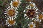 Thumbnail Carline Thistle (Carlina vulgaris), flowering, Niederlemb, Hesse, Germany, Europe