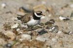 Thumbnail Common Ringed Plover or Ringed Plover (Charadrius hiaticula), adult bird with hatched chicks, Eidersperrwerk, North Frisia, Germany, Europe