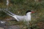 Thumbnail Arctic Tern (Sterna paradisaea), adult bird on nest, Eidersperrwerk, North Frisia, Germany, Europe