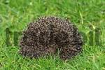 Thumbnail young hedgehog Western Hedgehog European Hedgehog