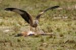 Thumbnail Red Kite (Milvus milvus) feeding on hare, Allgaeu, Bavaria, Germany, Europe