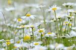 Thumbnail Oxeye daisies (Leucanthemum vulgare)