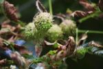 Thumbnail Horse-chestnut or Conker Tree (Aesculus hippocastanum), fruit pod with seeds, Lindlar, North Rhine-Westphalia, Germany, Europe