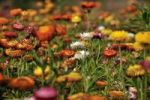 Thumbnail Meadow with colourful Strawflowers (Helichrysum bracteatum), San Pedro Cholula, Puebla, Mexico, Latin America, North America