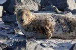 Thumbnail Grey seal (Halichoerus grypus), Helgoland, Schleswig-Holstein, Germany, Europe