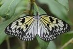Thumbnail Paper Kite or Large Tree Nymph (Idea leuconoe), tropical butterfly, Asia