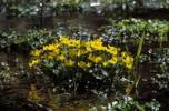 Thumbnail yellow marsh marigold Caltha palustris Germany
