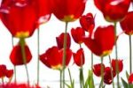 Thumbnail Red tulips (Tulipa)