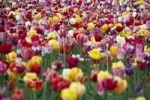 Thumbnail Tulips (Tulipa), tulip field near Freiburg im Breisgau, Baden-Wuerttemberg, Germany, Europe