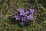 Thumbnail Chiltern gentian (Gentianella germanica), Untersberg, Groedig, Salzburg, Austria, Europe