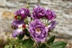 Thumbnail Purple flowers, Roses (Rosa)