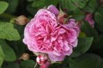 Thumbnail Pink flower and buds, Rose (Rosa)