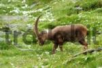 Thumbnail Ibex Capra ibex, Groß Glockner, nationalpark Hohe Tauern, Austria