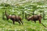 Thumbnail Ibexes Capra ibex, Groß Glockner, nationalpark Hohe Tauern, Austria