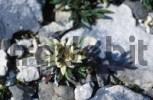 Thumbnail Edelweiss Leontopodium alpinum Alps