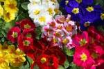 Thumbnail flowering primrose hybrids in different colours Primula vulgaris Hybriden