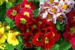 Thumbnail flowering primrose hybrids in different colours Primula vulgaris Hybriden