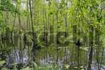 Thumbnail alder wood with standing water, Oberlausitz, Saxony, Germany