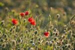 Thumbnail Corn poppies, red poppies (Papaver rhoeas) and a spider web, Tuscany, Italy, Europe