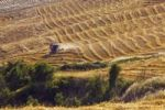 Thumbnail Cornfield being harvested, Tuscany, Italy, Europe