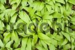 Thumbnail bears garlic Allium ursinum