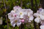 Thumbnail Cherry blossoms, Japanese Cherry (Prunus serrulata), spring
