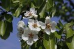 Thumbnail Flowering Pear (Pyrus) tree in spring