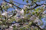 Thumbnail Flowering Pear (Pyrus) tree in spring