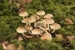 Thumbnail Smokey Gilled Woodlover mushroom (Hypholoma capnoides), Untergroeningen, Baden-Wuerttemberg, Germany, Europe
