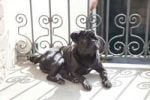 Thumbnail Black pug lying on a balcony in the sunshine