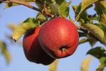 Thumbnail Red apples (Malus domestica) growing on a tree