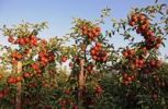 Thumbnail Red apples (Malus domestica) growing in an apple orchard, Altes Land region, Germany, Europe