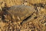 Thumbnail Gopher or Desert tortoise (Gopherus agassizii), Mojave Desert, Utah, USA, North America