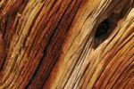 Thumbnail Weathered wood of an ancient Bristlecone pine (Pinus longaeva), Great Basin, Nevada, USA, North America