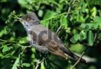 Thumbnail barred warbler Sylvia nisoria