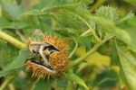 Thumbnail Common Thorn Apple, Jimson Weed (Datura stramonium), seed pod, Europe