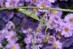 Thumbnail Praying mantis (Mantis religiosa) holding looted grasshopper, Hungary, Europe