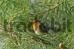 Thumbnail Robin Erithacus rubecula
