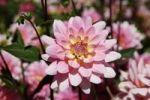 Thumbnail Dahlia (Dahlia), Gerrie Hoek breed