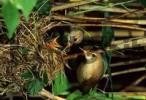 Thumbnail marsh warbler Agrocephalus palustris family warbler at nest