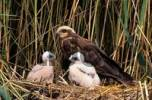 Thumbnail marsh harrier Circus aeruginosus family Accipitridae female