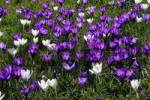 Thumbnail flowering crocus meadow in spring - dutch crocusses Crocus vernus